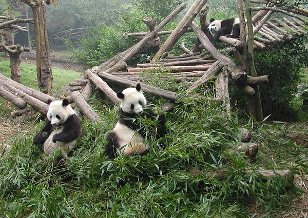 Panda Photos